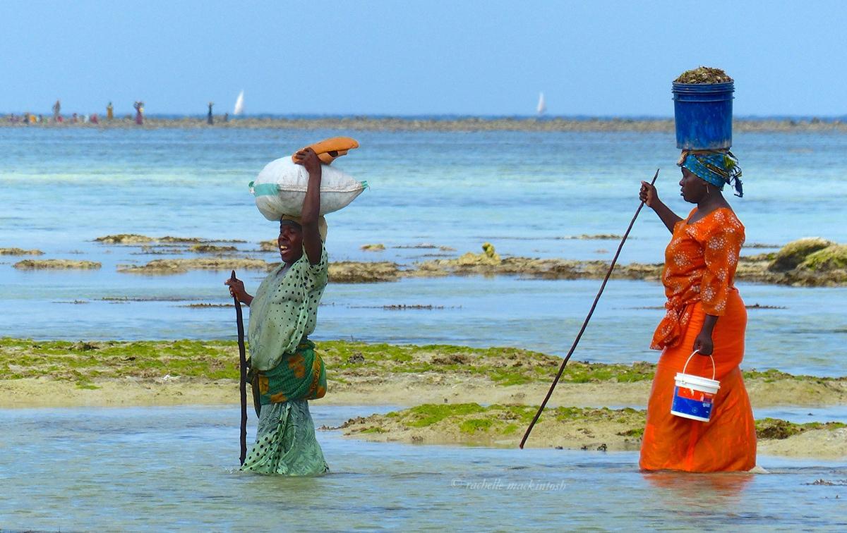 zanzibar women collecting seaweed beach