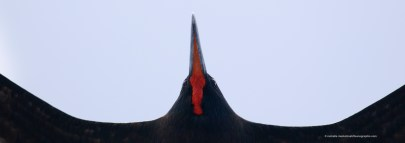 Frigate bird right above me