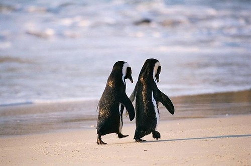 How To Set Gif As Wallpaper Iphone Adorable Animals Couple Cute Love Penguin Image