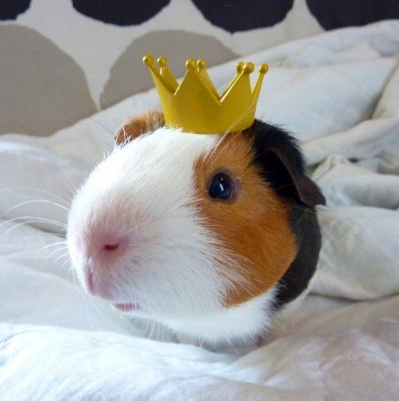Cute Baby Hijab Wallpaper Animal Coroa Crown Fotografia Guinea Pig King Image