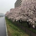 小雨混じりの桜の小道。多摩川の悠久の流れと「0哩(ゼロマイル)標識」からの道のりに思いを馳せながら、「歩くたび」は、ついに神奈川へ!