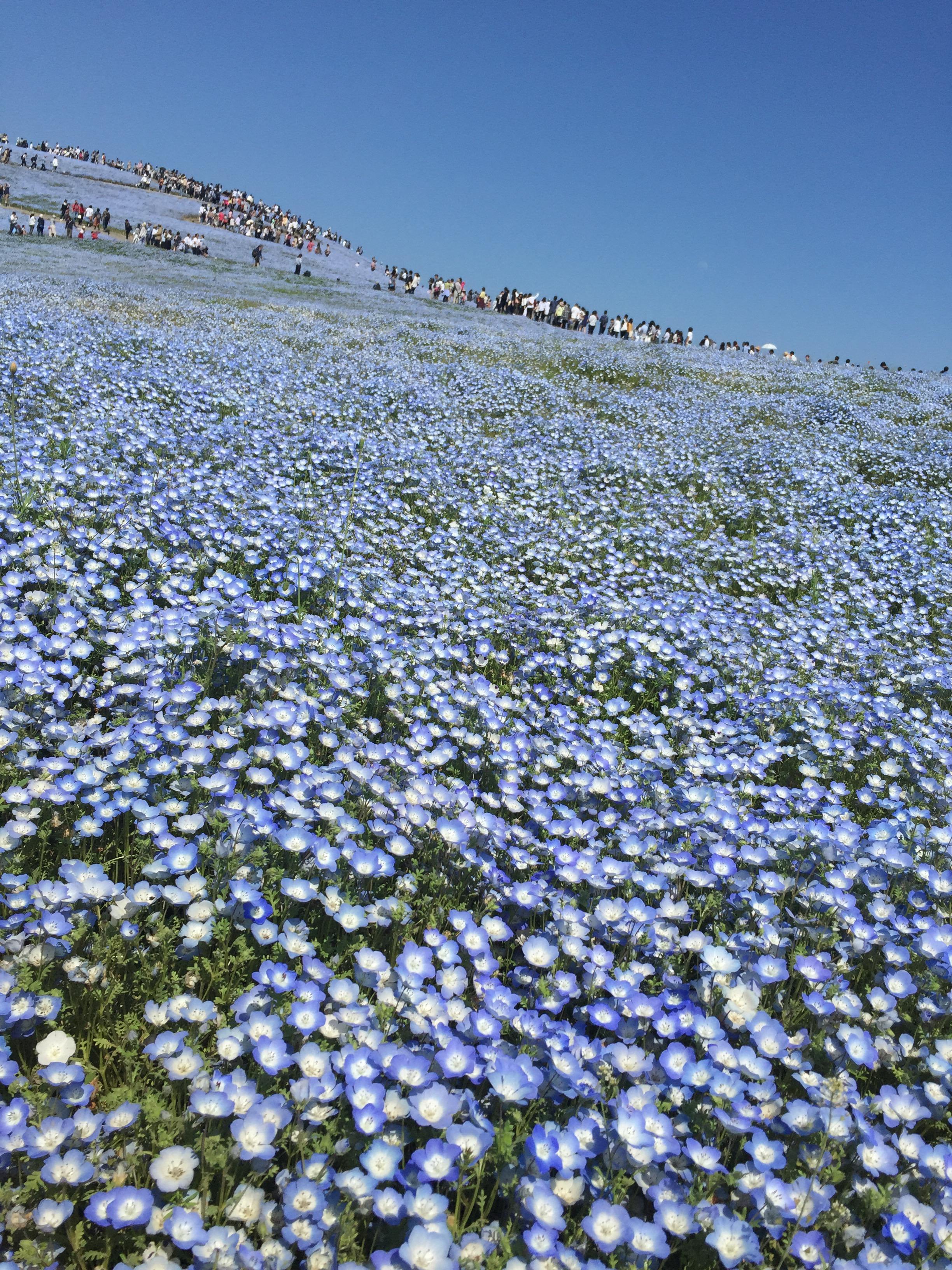 一度は訪れたい世界の絶景「ネモフィラの丘」。美しい瑠璃色の花景色。国営ひたち海浜公園を歩く。