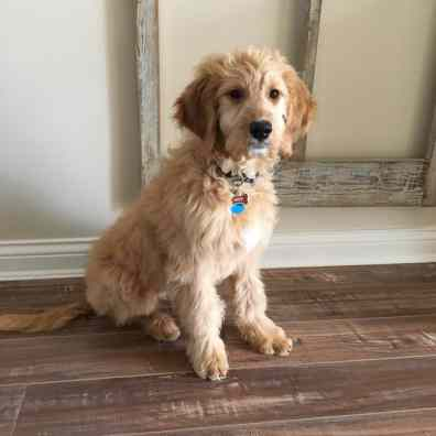 Family is Happy with Goldendoodle in Indianapolis