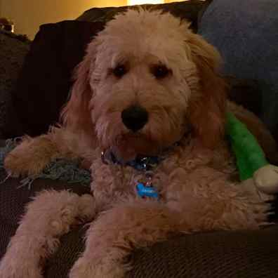 goldendoodle-goshen-IN5