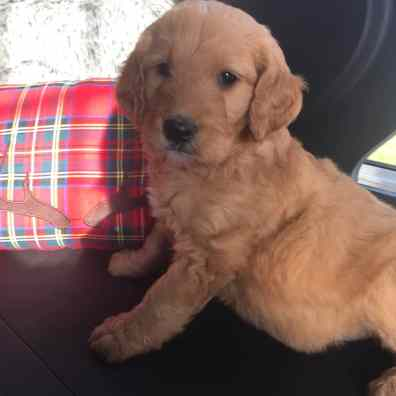 Goldendoodle in Indianapolis Testimonial