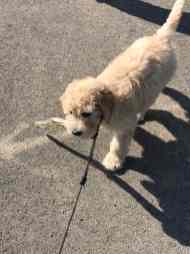 millie-labradoodle-fishers1