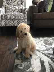 millie-labradoodle-fishers2