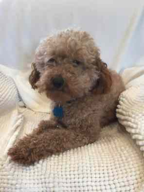 This is Jack our mini red poodle. He is also a sweetheart. His puppies have turned out really nice as well.