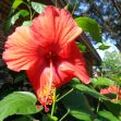 Single red hibiscus blossom