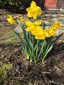 spring daffodils, 2016