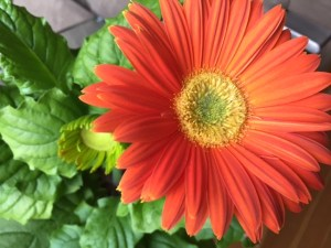 Orange Gerbera on Windowsill, 2016
