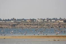 Flamingo_Fayoum_Egypt (31)