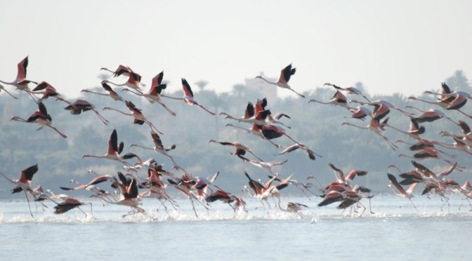 Flamingos in Fayoum