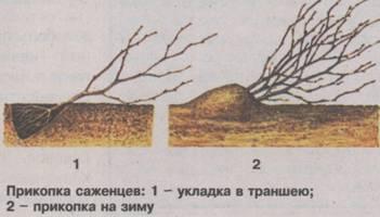 Когда начинает плодоносить алыча после посадки. Алыча Садовая энциклопедия