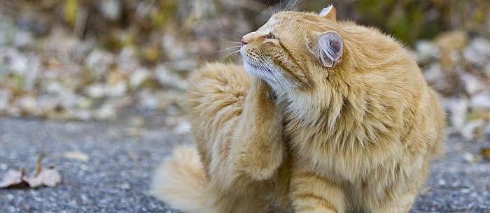 Вши у котенка что делать. Как передаются вши от человека к человеку, существует ли опасность передачи