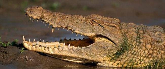 حيث التمساح مباشر وما يتغذى عليه