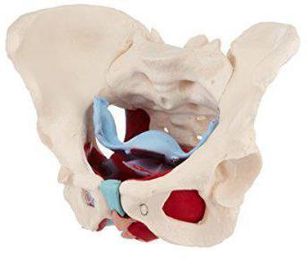 Что такое полость малого таза и какие органы туда входят. Анатомия женщин: органы малого таза