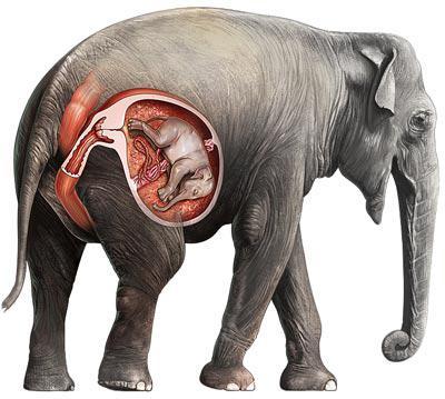 У каких животных самый длинный срок беременности  🚩 беременность животных 🚩 Животные 🚩 Другое
