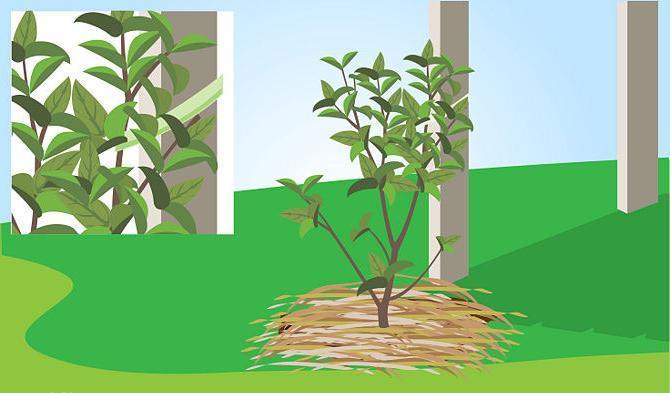 Что посадить рядом с жасмином. Применение в ландшафтном дизайне