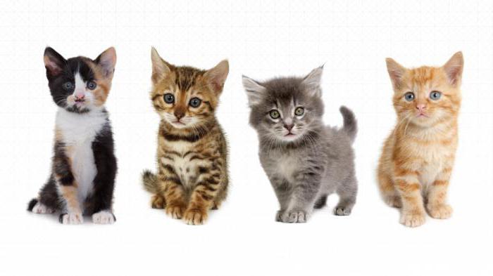 Manželky veľký chlpaté mačička
