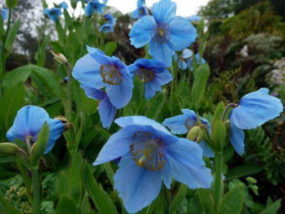 Meconopsis Betonicifolia 25 Saatgut Sehr Dauerhaft Mohn Blau Himalaya