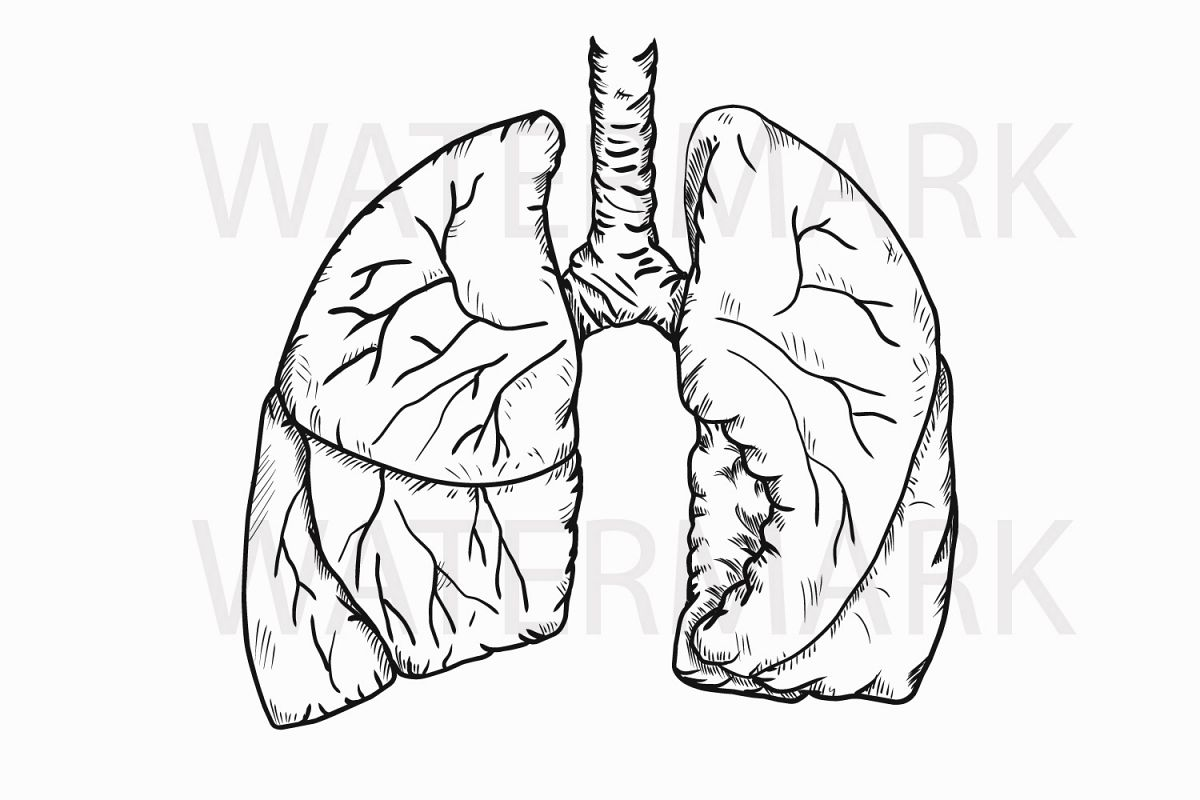 Human Real Lungs