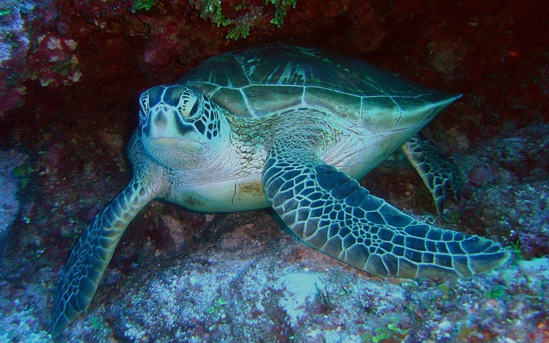 Hawksbill Turtle: Tagging Proved Beneficial
