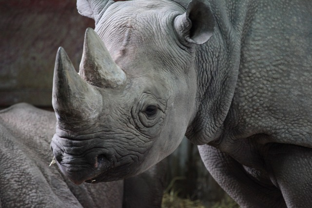 Operation Rhino Drop: A last-ditch effort to save the species