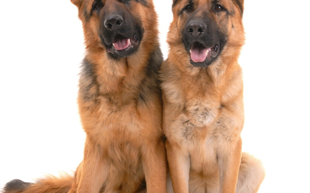 Dogs detecting prostate cancer!