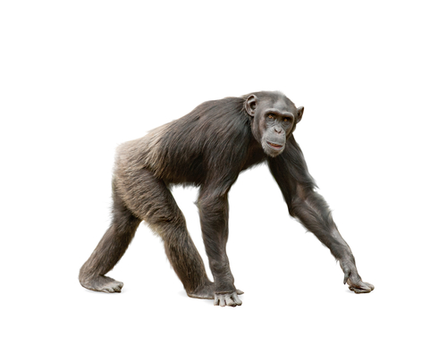 Human and Chimpanzee – Spine Shape is Similar