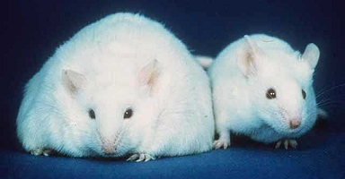 How Animal Testing and Research is Advancing Treatments for Type 2 Diabetes