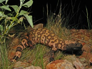 Reticulate_Gila_Monster