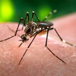 An Aedes aegypti mosquito. This kind of mosquito transmits Zika virus.