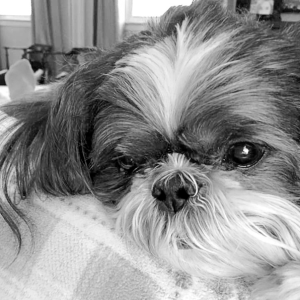Jack had renal dysplasia, a potentially deadly genetic defect of the kidneys that affects Shih Tzus more than any other breed. (Photo credit: Stillwell family)