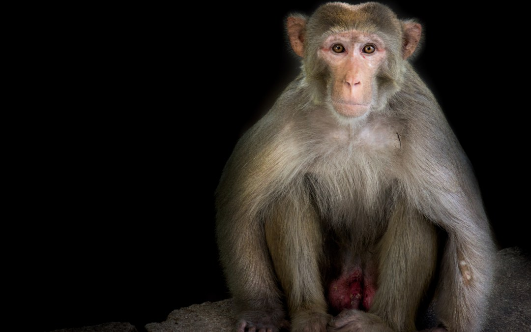 We Need Research Monkeys To Advance Medical Therapies