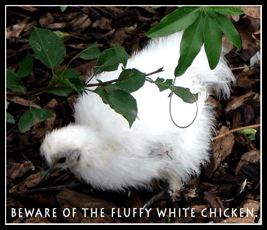 BEWARE  FLUFFY WHITE CHICKEN by kimusama on deviantART