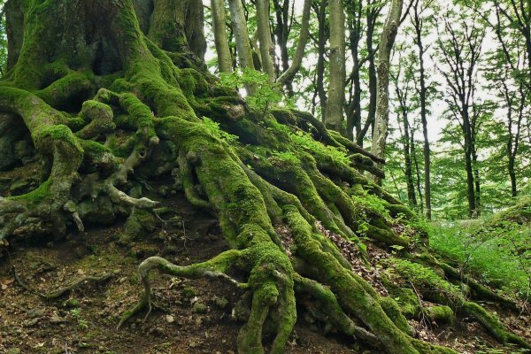 The gnarled, moss-covered roots of a large tree sit above the soil in a lush green forest.