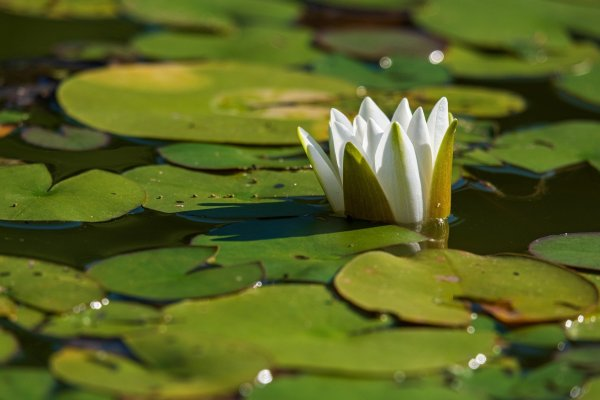 A single white water-lily unfurls partially amidst a pond fully of lily pads in various shades of green. Image via Pixabay.