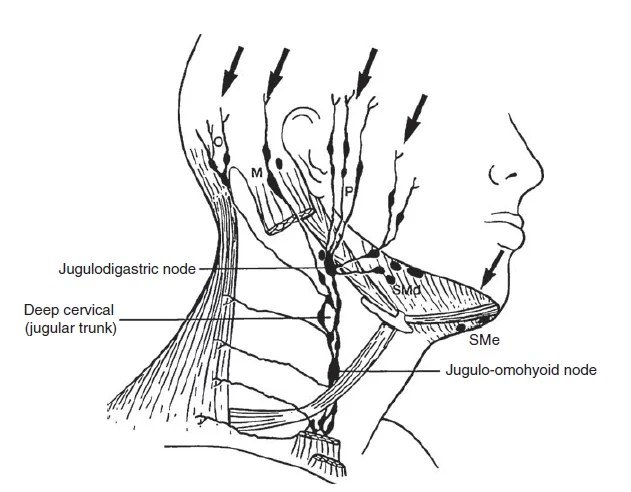 The lymph nodes in the face and neck region and the areas
