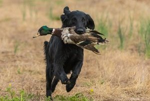 Example of a Flat-Coated Retriever in field work.
