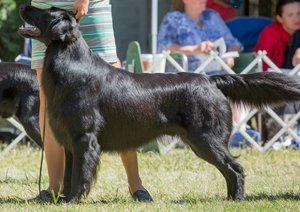 Flat-Coat stacking at the dog show.
