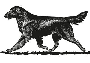 The Flat-Coated Retriever illustrated gait for the breed standard.
