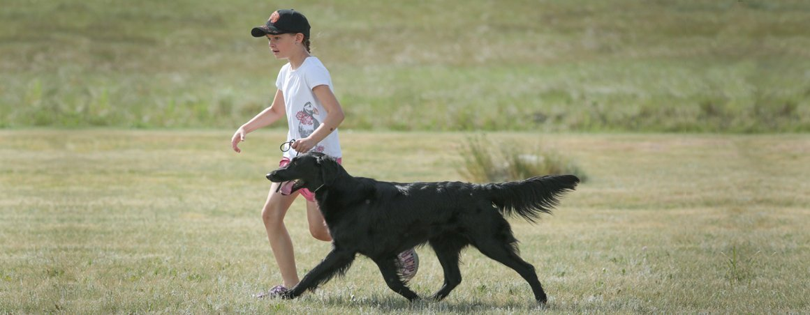 Junior learning how to show a Flat-Coated Retriever.