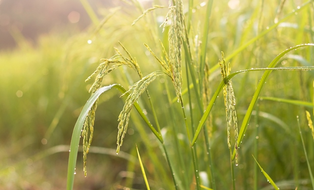 European customers would suffer from proposed EU rice duties