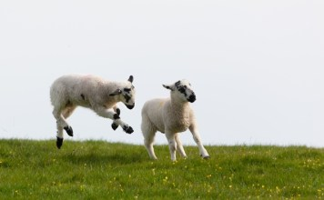 India opens market to British sheep meat