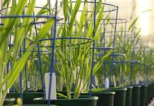 New barley discovery has potential for healthier food