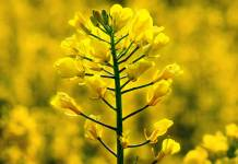 Scientists take step in transforming rapeseed into protein source