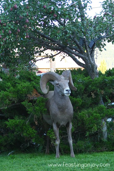 Big Horn Sheep Scratching himself in bush