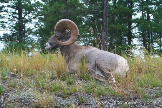 Sideways Big Horn Sheep