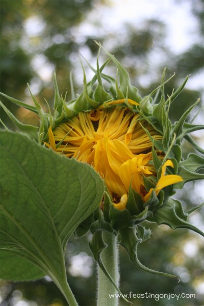 Closed Giant Sunflower